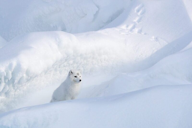 polaarrebane Arktikas